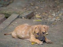 Problema de pele doente da lepra do cão Fotografia de Stock Royalty Free