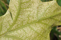 Problemas de saúde da árvore: Clorose Fotos de Stock Royalty Free