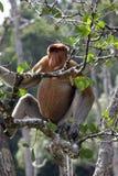 Proboscis Imagens de Stock