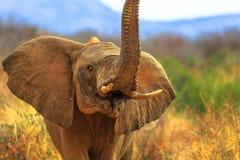 Proboscis of African Elephant stock photos