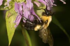 Proboscis of bumblebee visible while on a bergamot flower. Closeup of a bumblebee pollinator, Bombus sp., on lavender bergamot flowers, Monarda fistulosa, at royalty free stock images