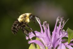 Proboscis of bumblebee visible while on a bergamot flower. Royalty Free Stock Photos