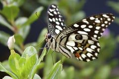Proboscis Royalty Free Stock Image