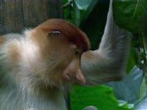 Proboscis - langnasiger Affeseitenschuß Stockfotografie