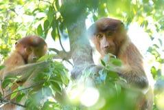 Proboscis Monkey. Borneo stock image