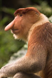 Proboscis monkey Royalty Free Stock Image