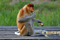 Free Proboscis Monkey Royalty Free Stock Image - 15434846
