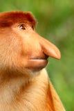 Proboscis monkey. Portrait of a male proboscis monkey Stock Photos