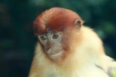 Proboscis monkey. Is among the world's most unusual animals Stock Images