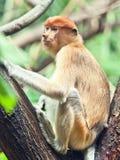 Proboscis monkey. (Nasalis larvatus) or long-nosed monkey Stock Photography