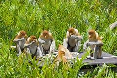 Proboscis monkey. S eating in the mangrove, Kota Kinabalu Stock Photos