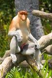 Proboscis monkey. Male proboscis monkey, Nasalis larvatus, or long nosed monkey, Borneo royalty free stock image