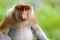 A proboscis monkey. stock photo
