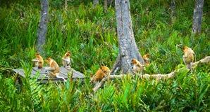 Proboscis monkey. A large group of the rare proboscis monkeys near Kota Kinabalu, Sabah, Malaysia, Borneo Stock Image