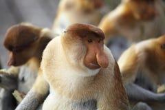 Proboscis monkey. Portrait of a poboscis monkey, Borneo, Malaysia Royalty Free Stock Photography