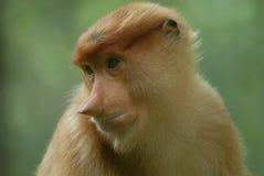 Proboscis monkey. Is among the worlds most unusual animals Royalty Free Stock Image