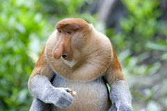 Proboscis monkey Royalty Free Stock Photo
