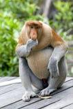 Proboscis monkey. A rare proboscis monkey in the mangrove, Kota Kinabalu Royalty Free Stock Photography