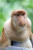 Proboscis monkey. A rare proboscis monkey in the mangrove, Kota Kinabalu Royalty Free Stock Photos