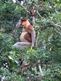 Proboscis Monkey Stock Photography
