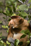 Proboscis monkey, Borneo Royalty Free Stock Photography