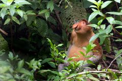 Proboscis monkey in borneo jungle Stock Photography