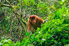 Proboscis monkey, Borneo, Malaysia Stock Photography