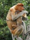 Proboscis Monkey with baby. Proboscis Monkey. Borneo Royalty Free Stock Photo