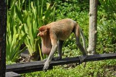 Proboscis monkey on Borneo stock image