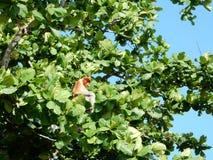 A Proboscis monkey on Bornoe royalty free stock image