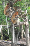 Proboscis Monkey Branch Royalty Free Stock Images