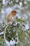 Proboscis Monkey cub sitting on a tree in the wild green rainforest on Borneo Island. The proboscis monkey Nasalis larvatus or l. Ong-nosed monkey, known as the Royalty Free Stock Photography