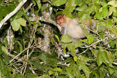 Proboscis monkey eating in a tree Royalty Free Stock Images