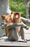 Proboscis monkey endemic of Borneo island in Malaysia.  royalty free stock photography