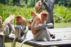 Proboscis monkey endemic of Borneo island in Malaysia.  royalty free stock photos
