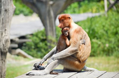 Proboscis monkey endemic of Borneo island in Malaysia Stock Photo