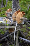 The proboscis monkey Stock Image
