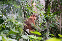 Proboscis Monkey. A highly Endangered Proboscis Monkey (Nasalis larvatus) sitting in a tree & looking very pensive in the wild jungles of Borneo. This is a big royalty free stock photo