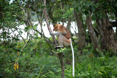Proboscis Monkey. A highly Endangered Proboscis Monkey (Nasalis larvatus) sitting in a tree & looking very pensive in the wild jungles of Borneo. This is a big stock photography
