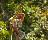 Proboscis Monkey. InTanjung Puting National Park Indonisia Stock Image