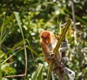 Proboscis Monkey. InTanjung Puting National Park Indonisia Stock Photography