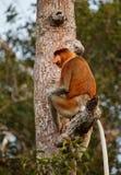 Proboscis Monkey. InTanjung Puting National Park Indonisia Stock Images