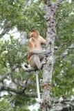 Proboscis Monkey, Kinabatangan, Sabah, Malaysia Royalty Free Stock Photography