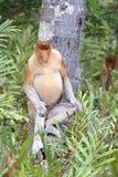 Proboscis Monkey, Kinabatangan, Sabah, Malaysia Stock Photos