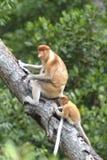 Proboscis Monkey, Kinabatangan, Sabah, Malaysia Stock Images