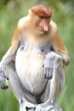 Proboscis Monkey, Kinabatangan, Sabah, Malaysia Stock Photo
