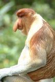 Proboscis Monkey, Kinabatangan, Sabah, Malaysia Stock Image