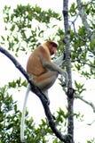Proboscis Monkey, Kinabatangan, Sabah, Malaysia Royalty Free Stock Photo