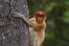 Proboscis Monkey, Kinabatangan, Sabah Royalty Free Stock Photography