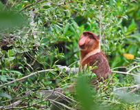 Proboscis monkey long nosed Stock Photography